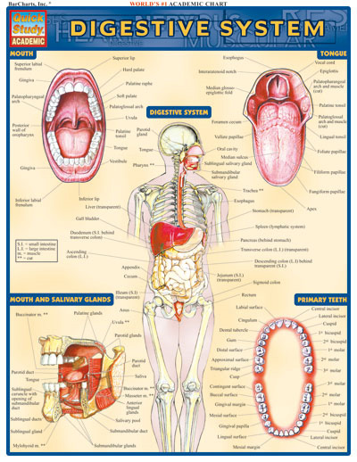 BarCharts Digestive System Quick Study Guide - Anatomy Charts Online ...