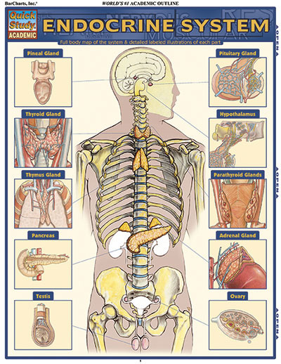 BarCharts Endocrine System Quick Study Guide - Anatomy Charts Online ...