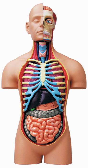 Tedco Toys Human Anatomy - Deluxe Torso Model \