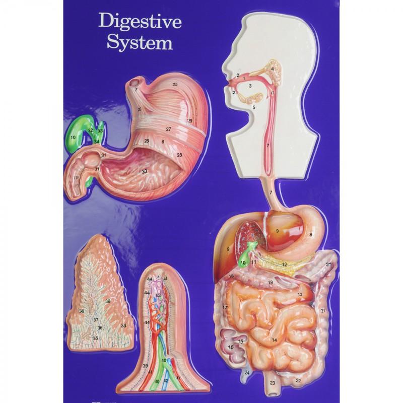 scott resources  u0026 hubbard scientific digestive system model activity set