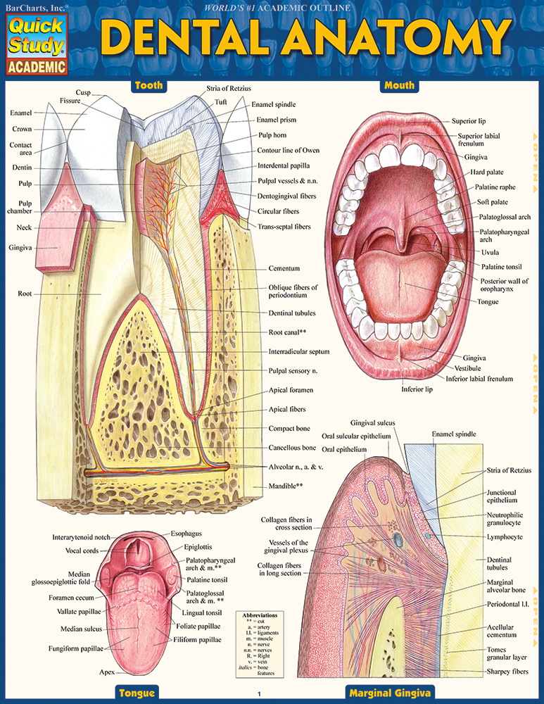 Barcharts Dental Anatomy Quick Study Guide Anatomy Charts Online