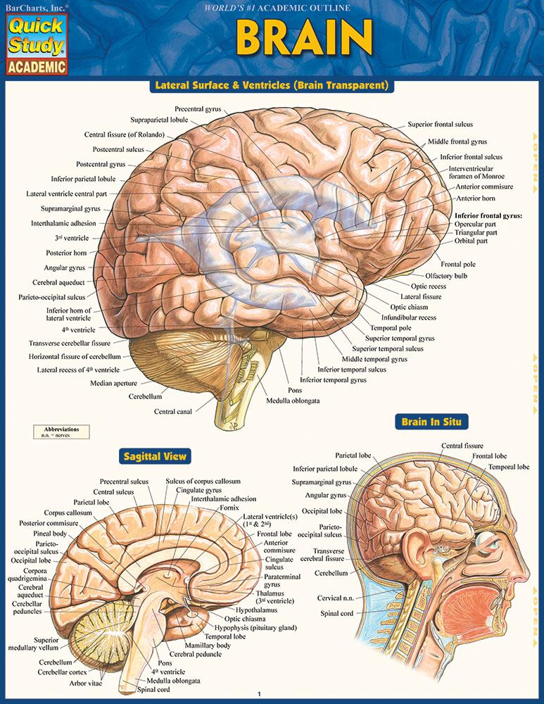 BarCharts Brain Quick Study Guide - Anatomy Charts Online | Teacher ...