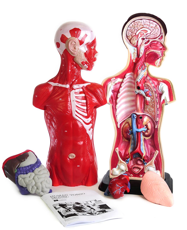 Scott Resources Hubbard Scientific Torso Model Billy Anatomy