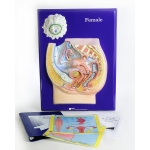 Scott Resources & Hubbard Scientific Female Reproductive Model Activity Set