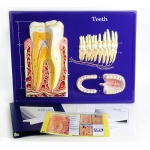 Scott Resources & Hubbard Scientific Teeth Model Activity Set
