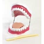 Ginsberg Oral Hygiene Model with Key