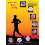 American Education Poster: Cells of Your Body
