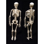 "Ginsberg Skeleton Model: 34"" Size"