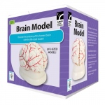 American Educational Brain Model