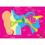 Human Body Foam Manipulatives Ear