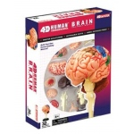 Tedco Science Toys Human Brain