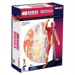 Tedco Science Toys Human Anatomy - Human Muscle & Skeleton Model