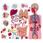 The Human Body & Anatomy Flannelboard Set